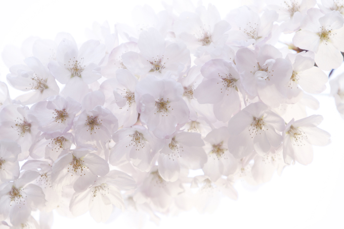バンクーバーの桜