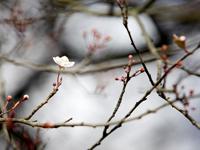バンクーバーに桜が開花