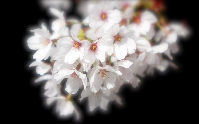 「桜色 」