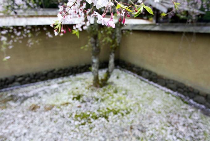 「桜絨毯」